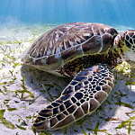The Belize reef is home to three kinds of marine turtles, endangered green turtles, like this one, as well as critically endangered hawksbills and vulnerable loggerheads : Photo © Antonio Busiello / WWF-US