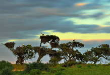"""The """"pajareras"""" (bird nesting place) are one of the most characteristic sights of Doñana National Park. Colonies of herons, storks and spoonbills build their nests and breed on old trees around the marshes, mostly cork oaks : Photo © Diego López / WWF-Spain"""