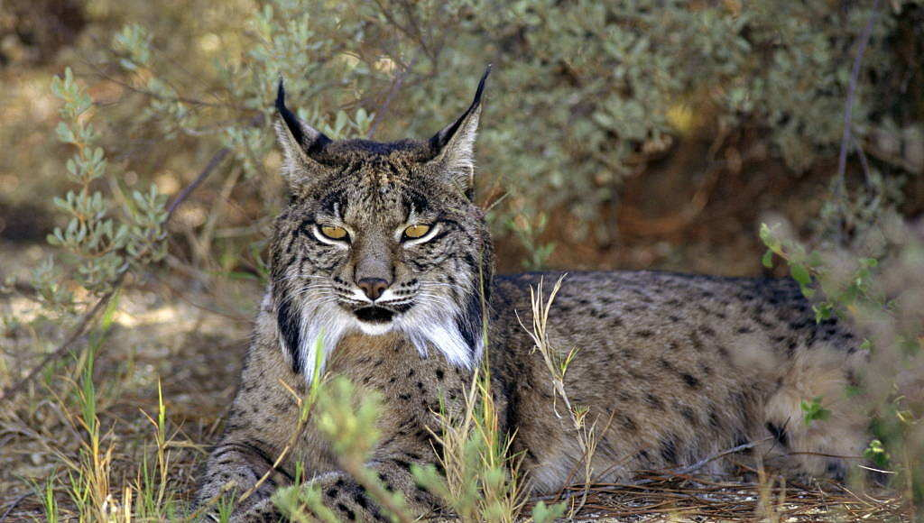 Iberian lynx (Lynx pardina) are endangered and found only in two places in Spain, including Doñana National Park : Photo © naturepl.com / Jose B. Ruiz / WWF