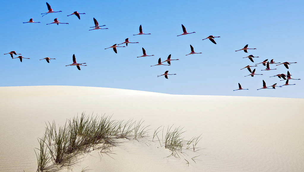 Greater flamingos (Phoenicopterus ruber) in flight over sand dune, Doñana National Park, Andalusia, Spain : Photo © Diego López / WWF-Spain