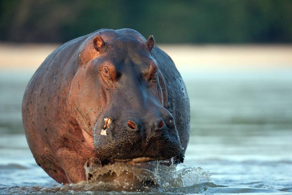 Hippo (Hippopotamus amphibius) bathing in water at the Selous Game Reserve, Tanzania : Photo © Michael Poliza / WWF