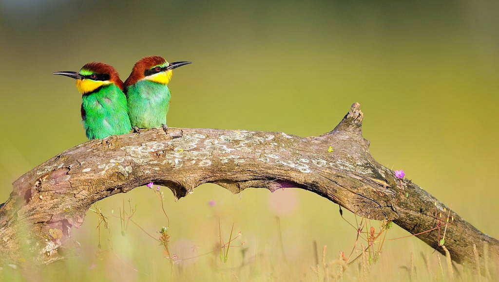 European bee-eater (Merops apiaster) in Doñana National Park. Andalusia, Spain : Photo © Diego López / WWF-Spain