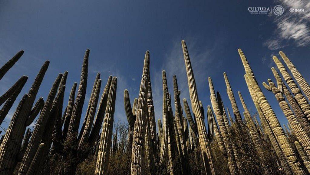 Hay bosques de cactáceas columnares de gran tamaño, flora endémica y hábitat de especies de fauna silvestre : Foto © Mauricio Marat INAH